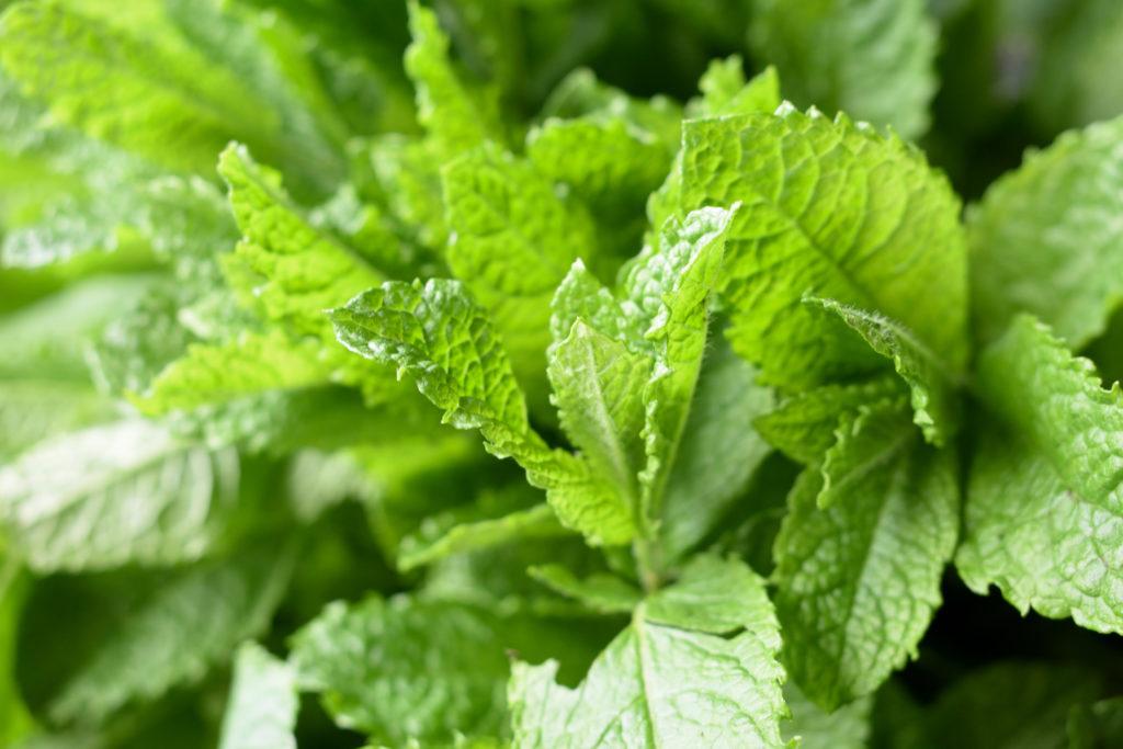 Pfefferminze (Mentha x Piperita) | Das ist die wichtigste Zutat für unser leckeres Dessert: Die Blätter der Pfefferminzpflanze!